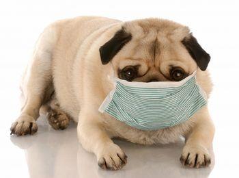 Pug with hospital mask