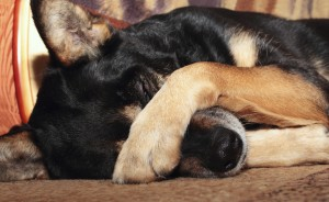 Dog covering nose