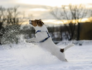 dog making splashes of snow. Jack Russell Terrier playing on sun