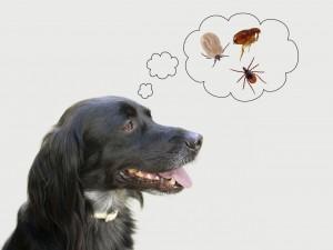 Dog considering health risks of tcks, flea