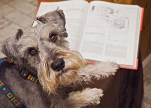 Miniature schnauzer dog studying