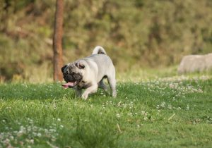Pug with tongue hanging out