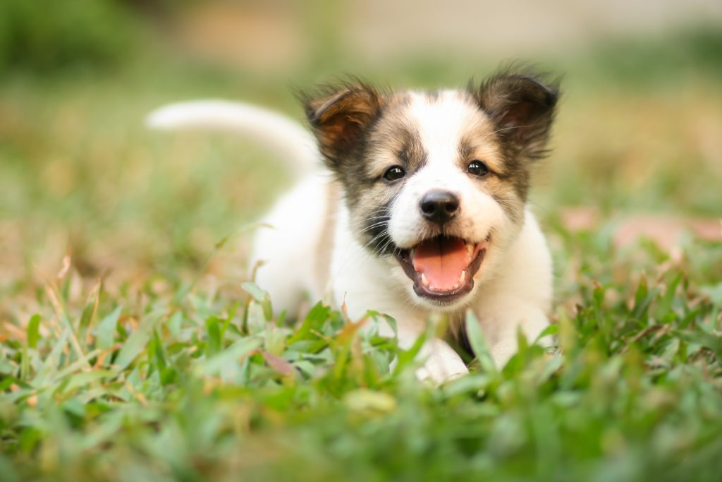 Happy Doggy Fast Running On Grass