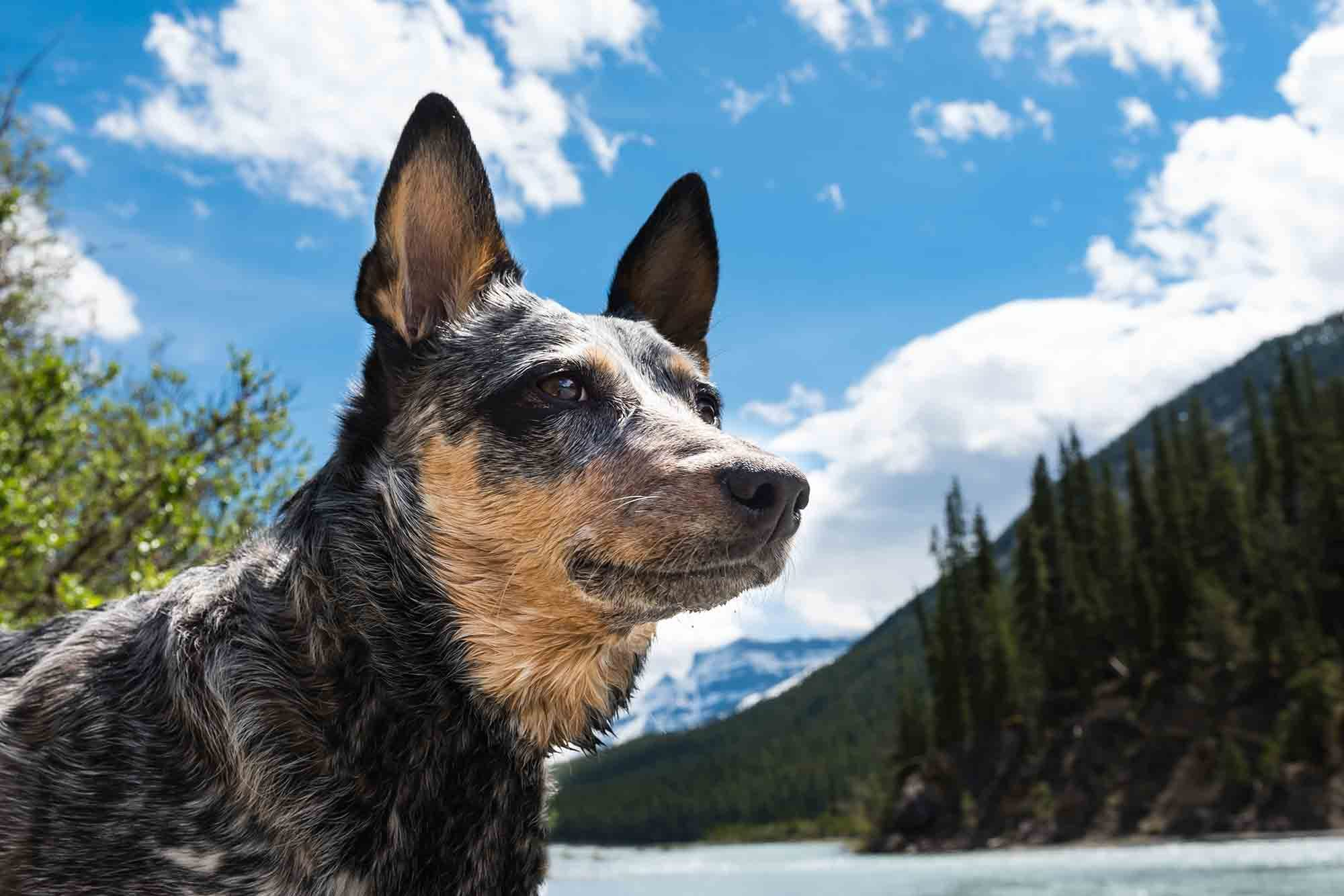 homing sense in dogs