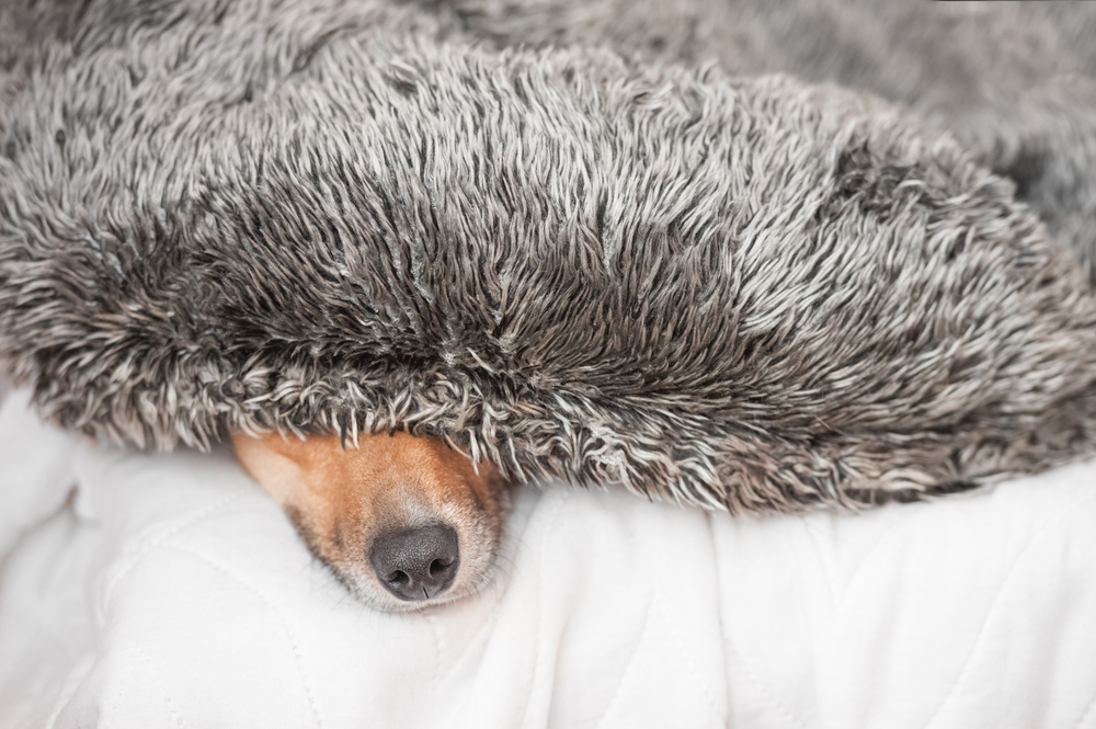 canine noise aversion