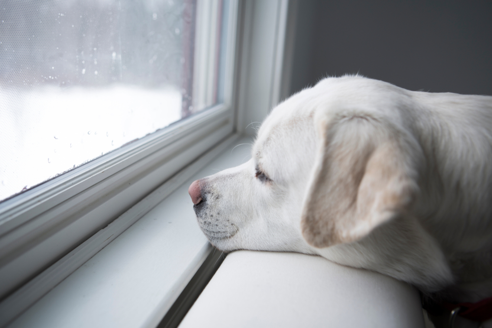 A white dog with chin resting stares out of a window to a winter scene white with snow.