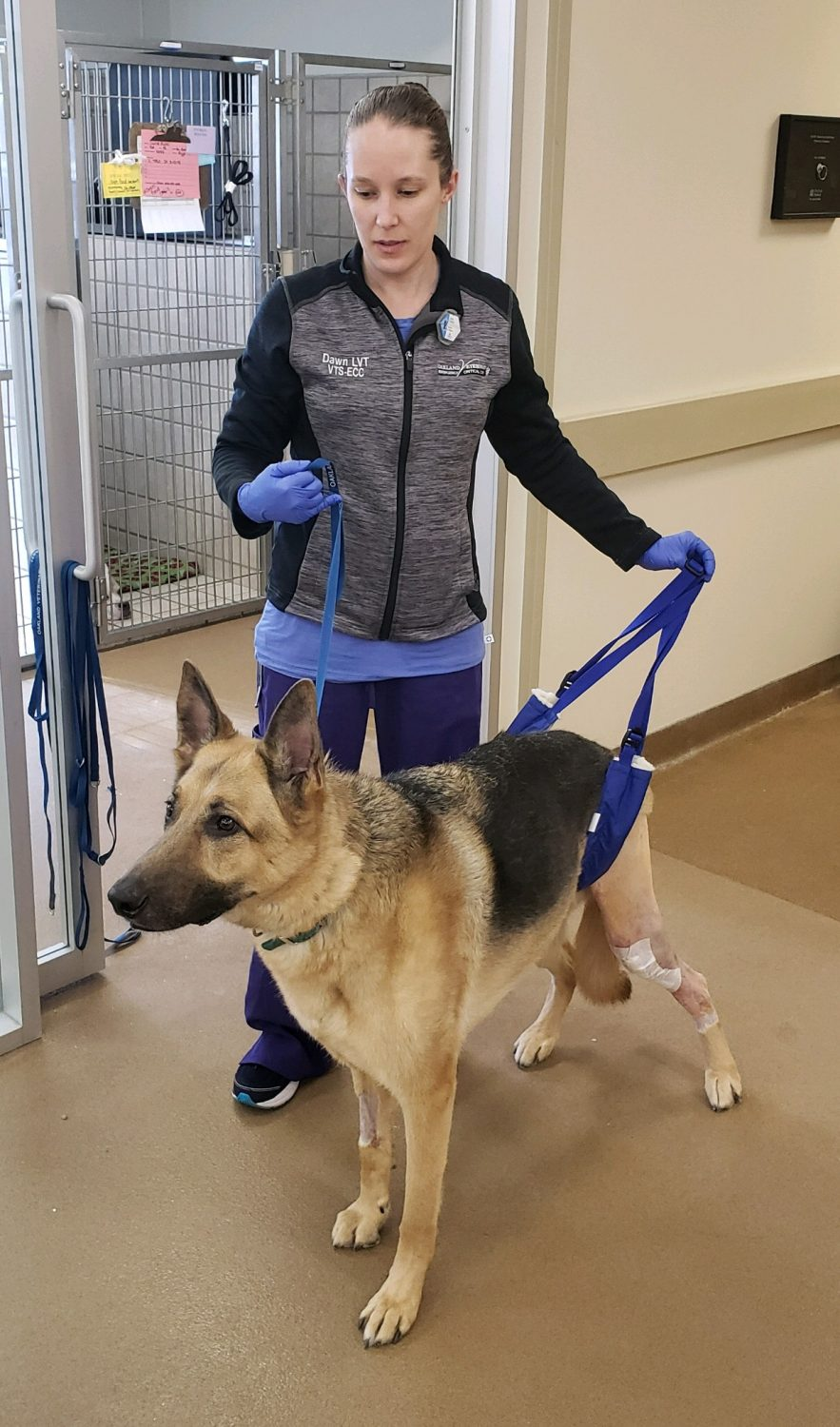 Large dog using harness to help walk after TPLO surgery.