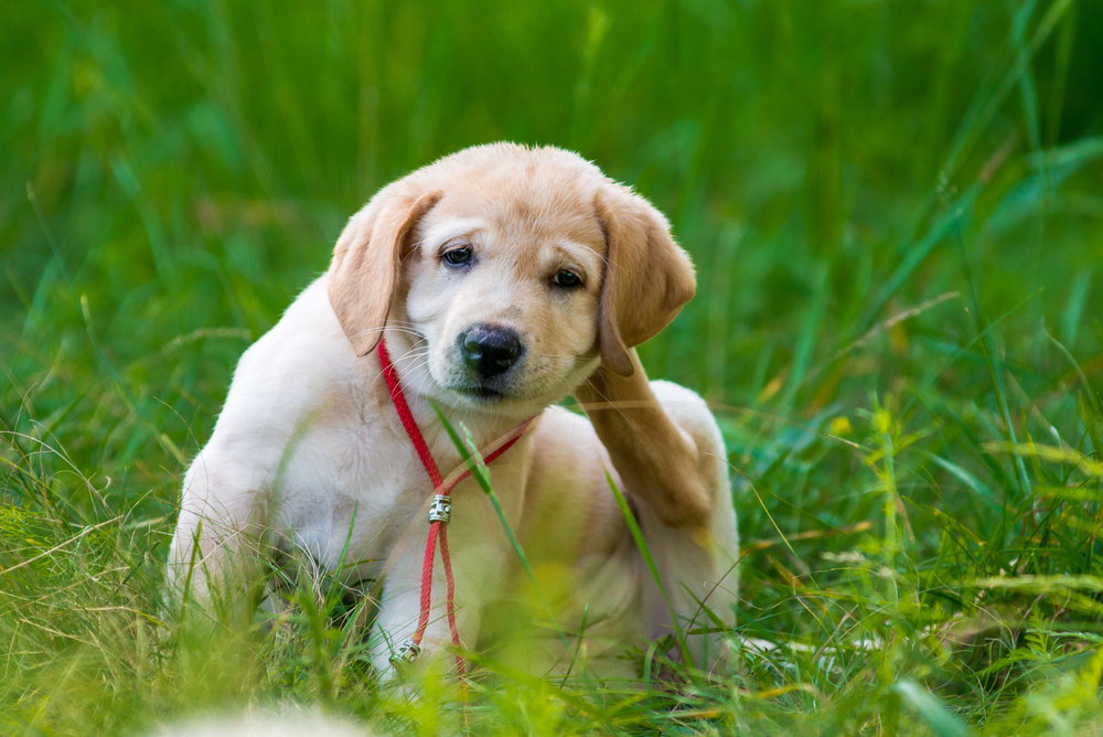 A puppy sitting in a green grassy area scratching itself behind the ear.