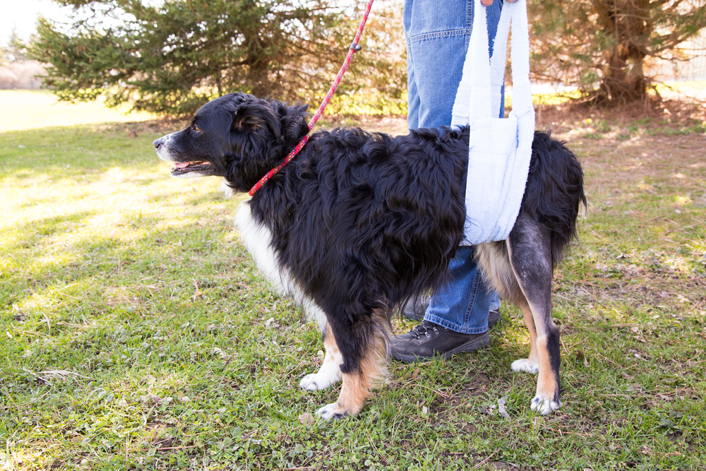 Dog walking in sling at home during TPLO recovery.