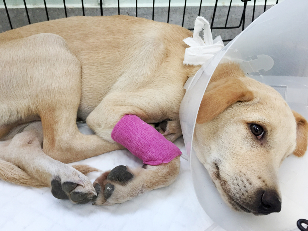 Dog in hospital recovering after surgery.