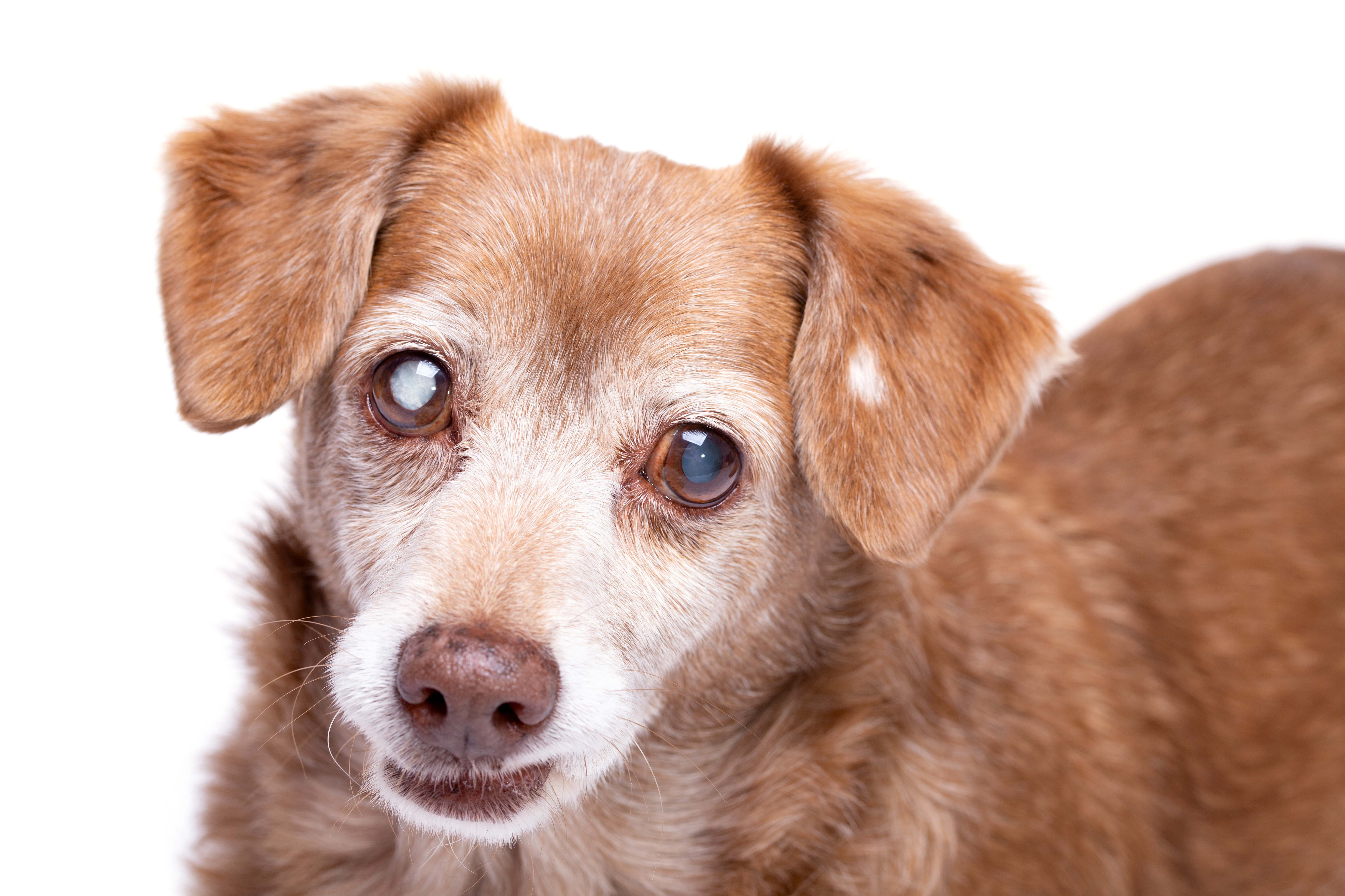Cloudy Vision Cataracts In Dogs Ovrs
