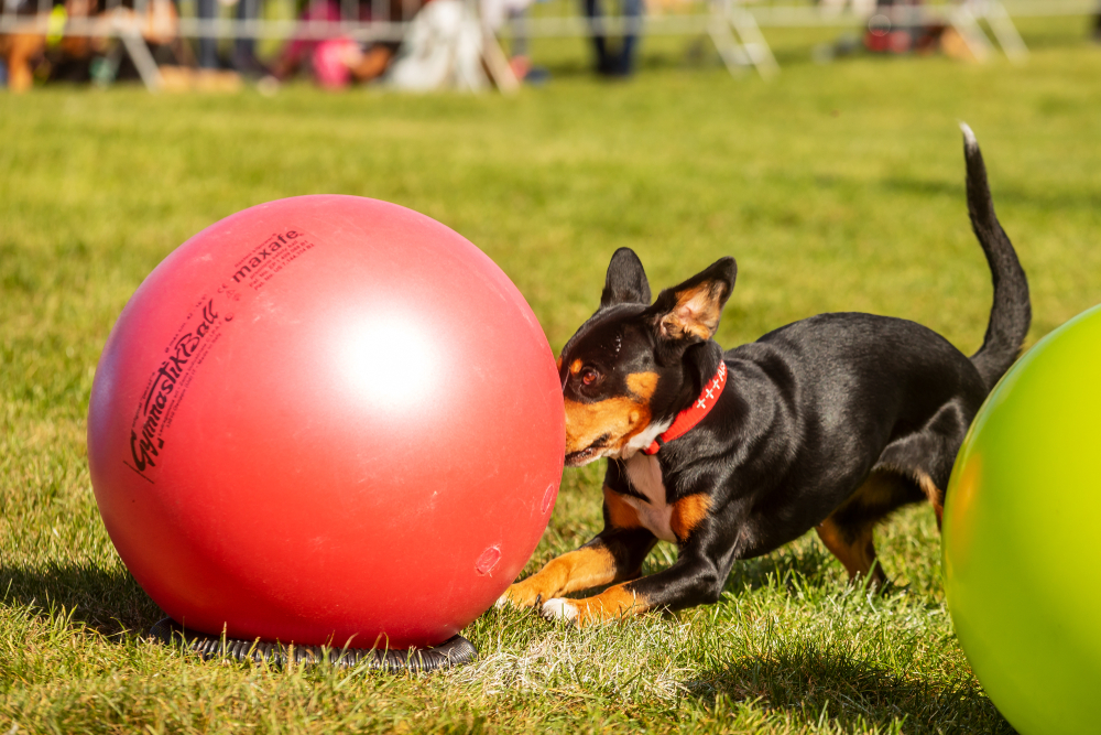 A black dog rushes at a red ball, larger in size than itself.