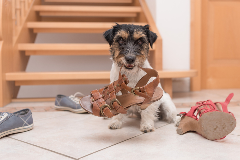 A dog stands defiantly looking with a sandal within its bite.