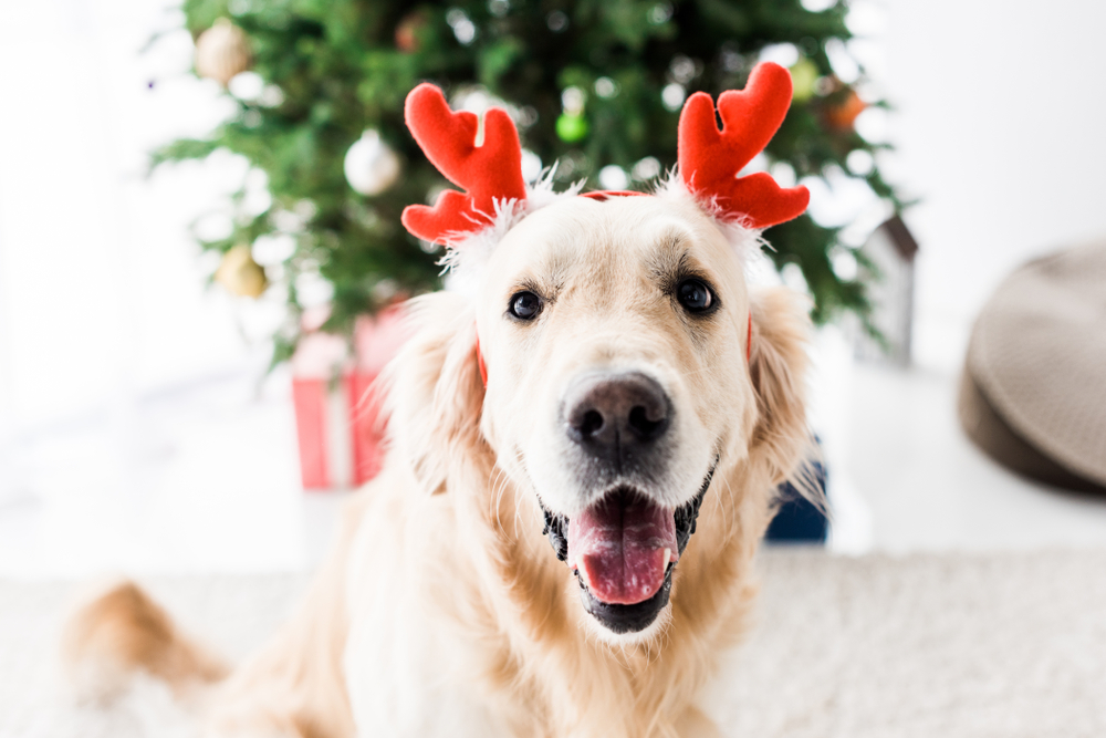 A holiday centric photo of a yellow colored dog wearing novelty reindeer antlers and panting.