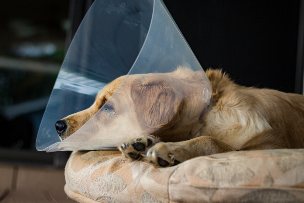 A yellowish dog lays sleeping with a cone around its neck like one that is used to keep the surgery wounds clean after surgery.
