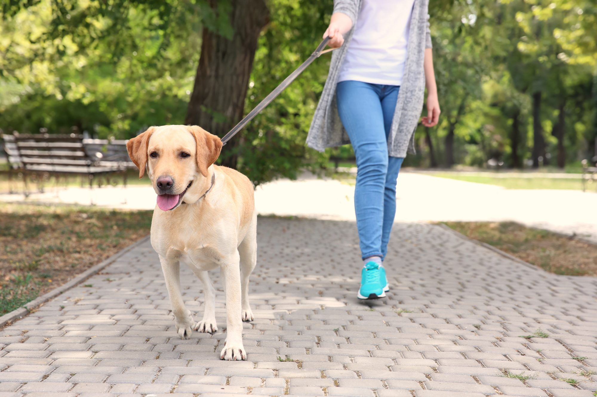 A person walks a yellow lab along a brick path, within a park setting.