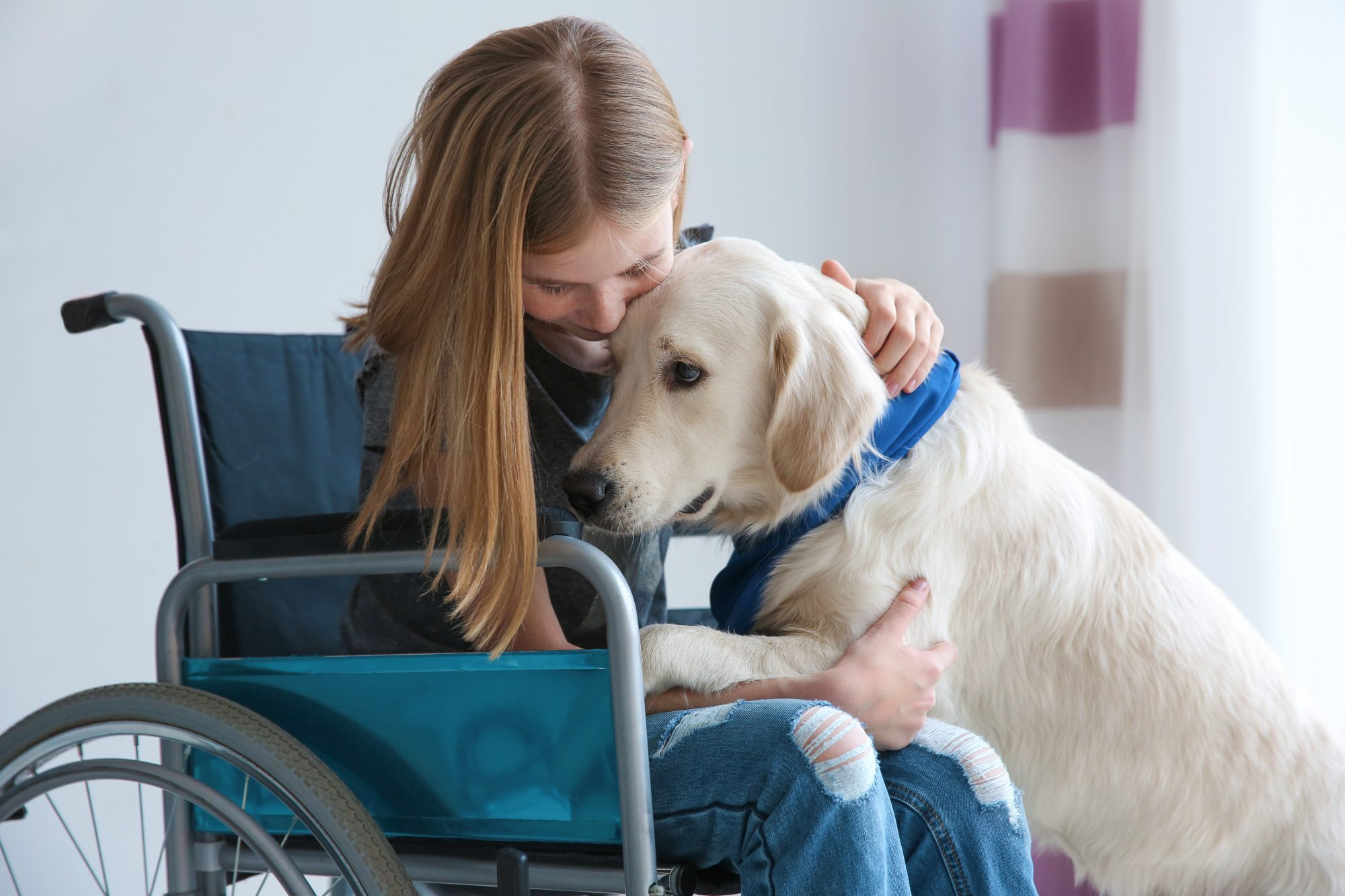 A yellow dog leans on a child in a wheelchair.