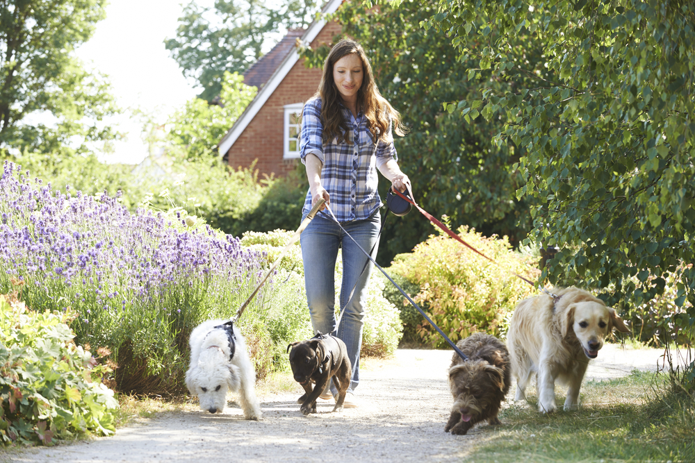 A smiling woman holds four leashes with four dogs walking along a path.