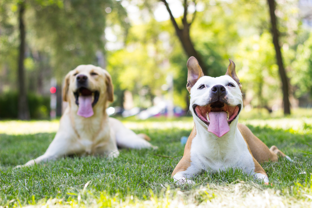 Two dogs lay in green grass, panting with happy facial expressions.