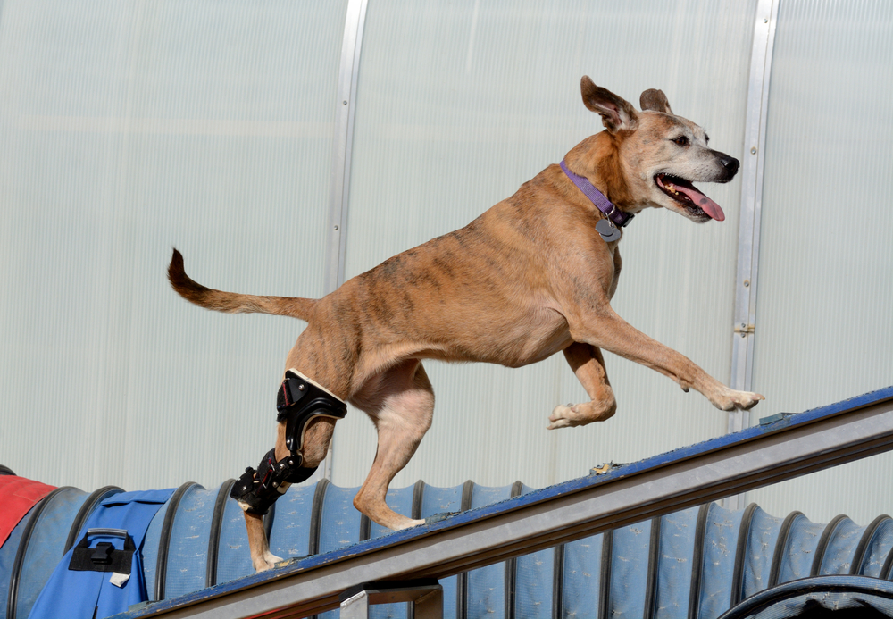 Dog wearing brace for CCL injury after surgery.
