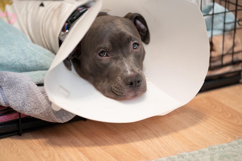 Dog recovering from surgery