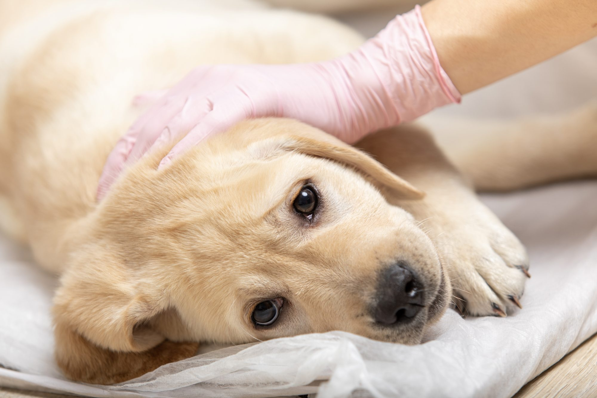 labrador retriever puppy getting vaccinated on white background.