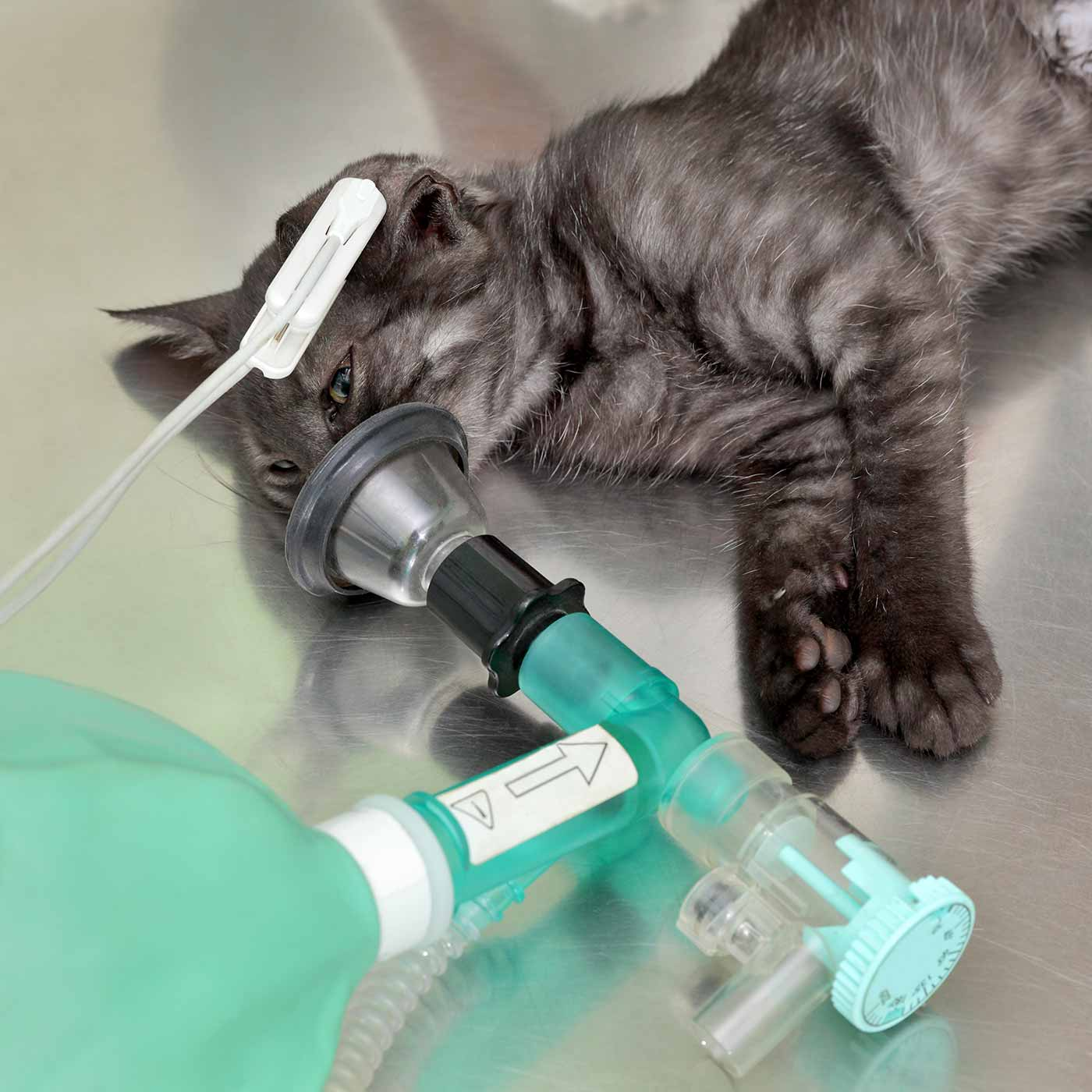 cat in veterinary surgery